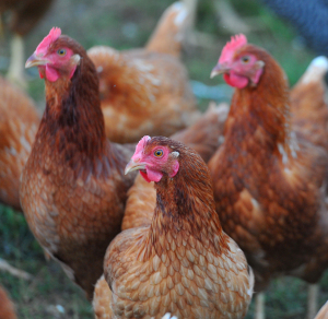 072212chicken_bs11.jpg
