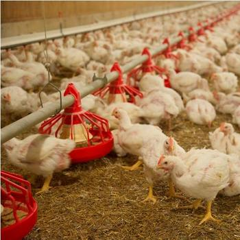 Chickens-Feeding BlackburnNews.jpg