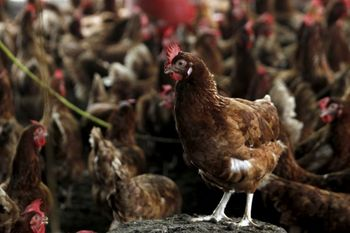 imgmalaysia-reports-highly-contagious-h5n1-bird-flu.jpg