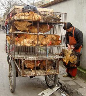poultry_bike_trailer-james_creegan.jpg